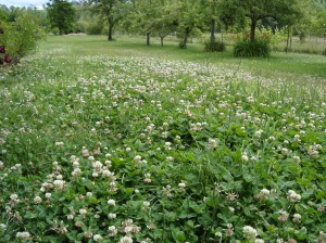 A bee's clover field of dreams.