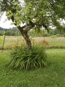Both beautiful and functional, daylilies planted around the base of our fruit trees help protect trunks from mower and weedwacker damage.