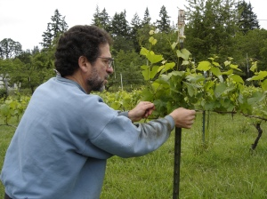 Rick working the pinot noir vineyard within the deer fencing.