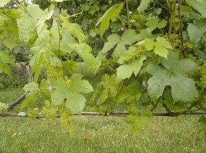 Developing table grapes
