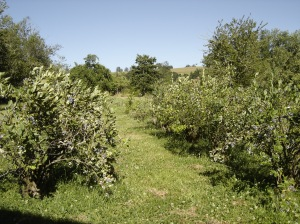 View down the rows of blueberry bushes.  The hills are beginning to turn golden brown now that were are out of the rainy season.