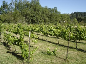 The Pinot Vineyard.  Young vines have been planted in some spots to replace winter kill and gopher damaged vines.