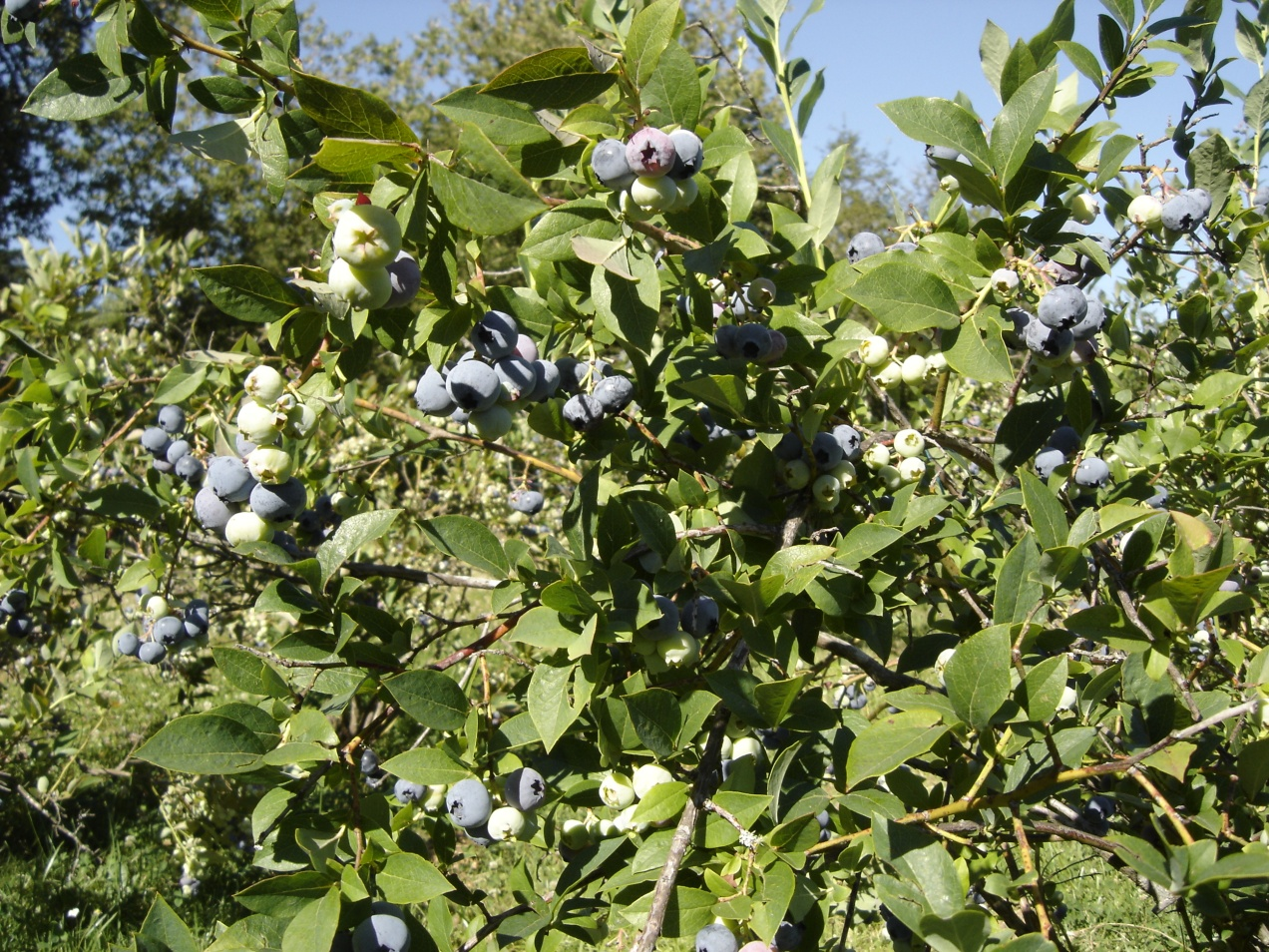 Ripening blueberries, waiting to be picked.  The birds are also waiting for these tasty blue gems to ripen.  The race is on!