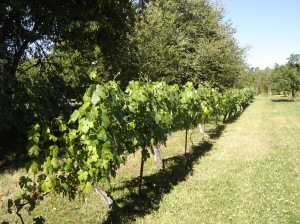 View down the table grapes.
