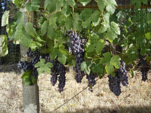 Table grapes safely ripening behind bird netting.  Safe from birds, but not yellow jackets or the clever paws of raccoons!