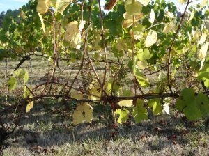 Pinot vines - grapes stripped mostly by birds