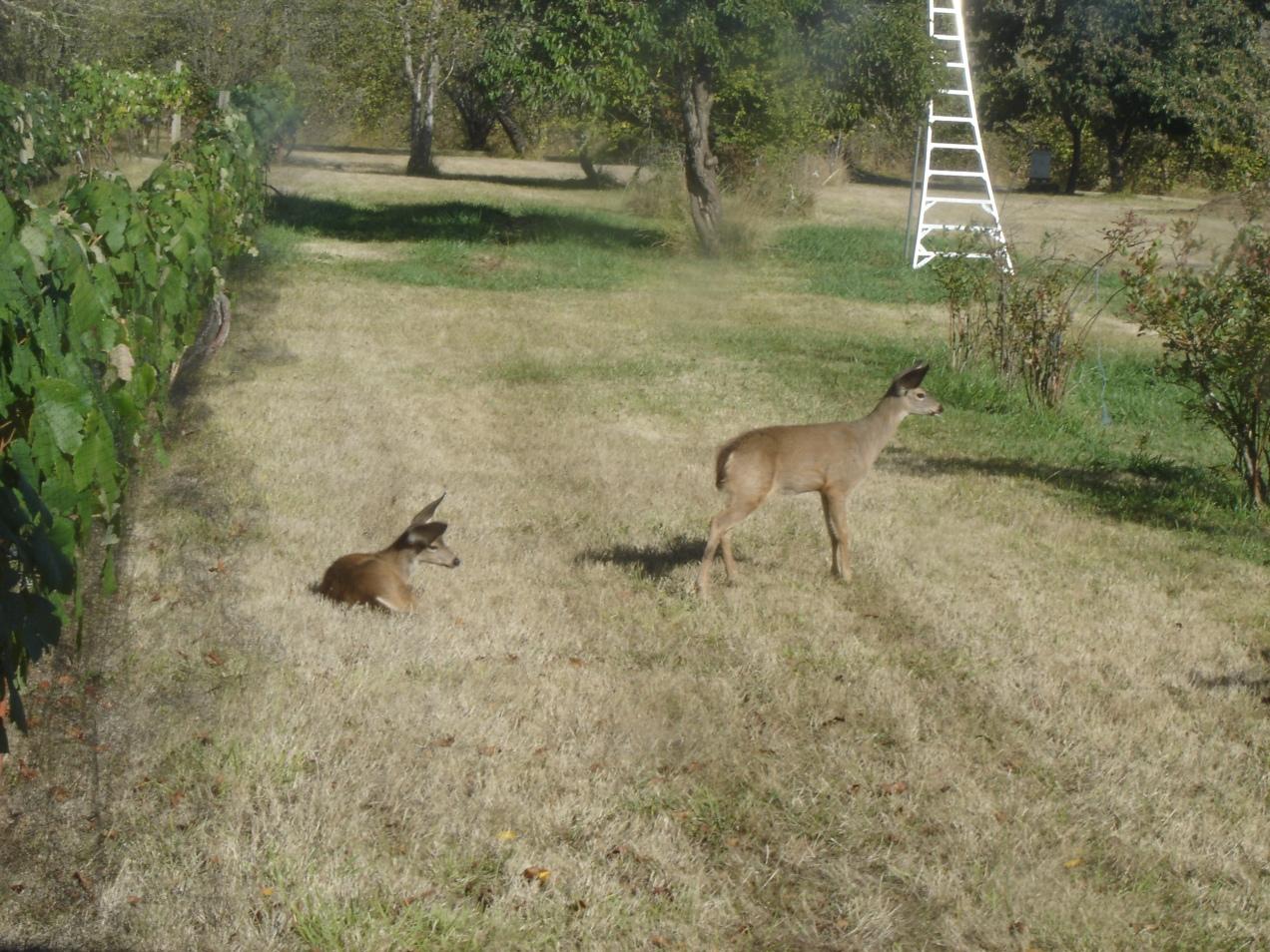 DeerFawns-2-09272014