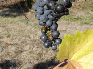 Pinot noir grapes.  Honeybees as well as yellow jackets love the sugary juice.  Like cattle, honeybees need forage and water.  Both in short supply this time of year.