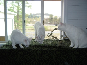 The Three Sisters, left to right - Nod, Blynken and Wynken, investigating fresh catnip from the garden.