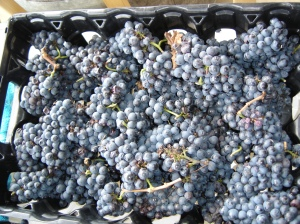 PinotGrapes-2-Oct-2014