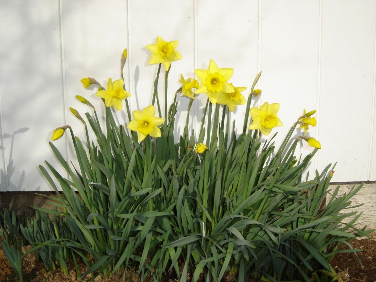 Daffodils-1-01262015