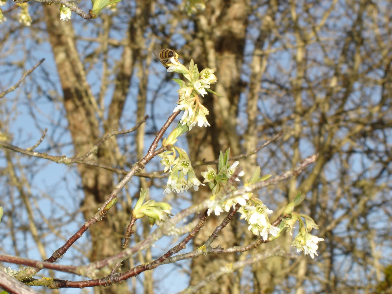 honeybee-1-03042015