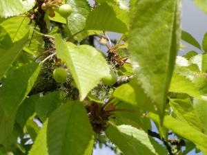 Cherries-05052015