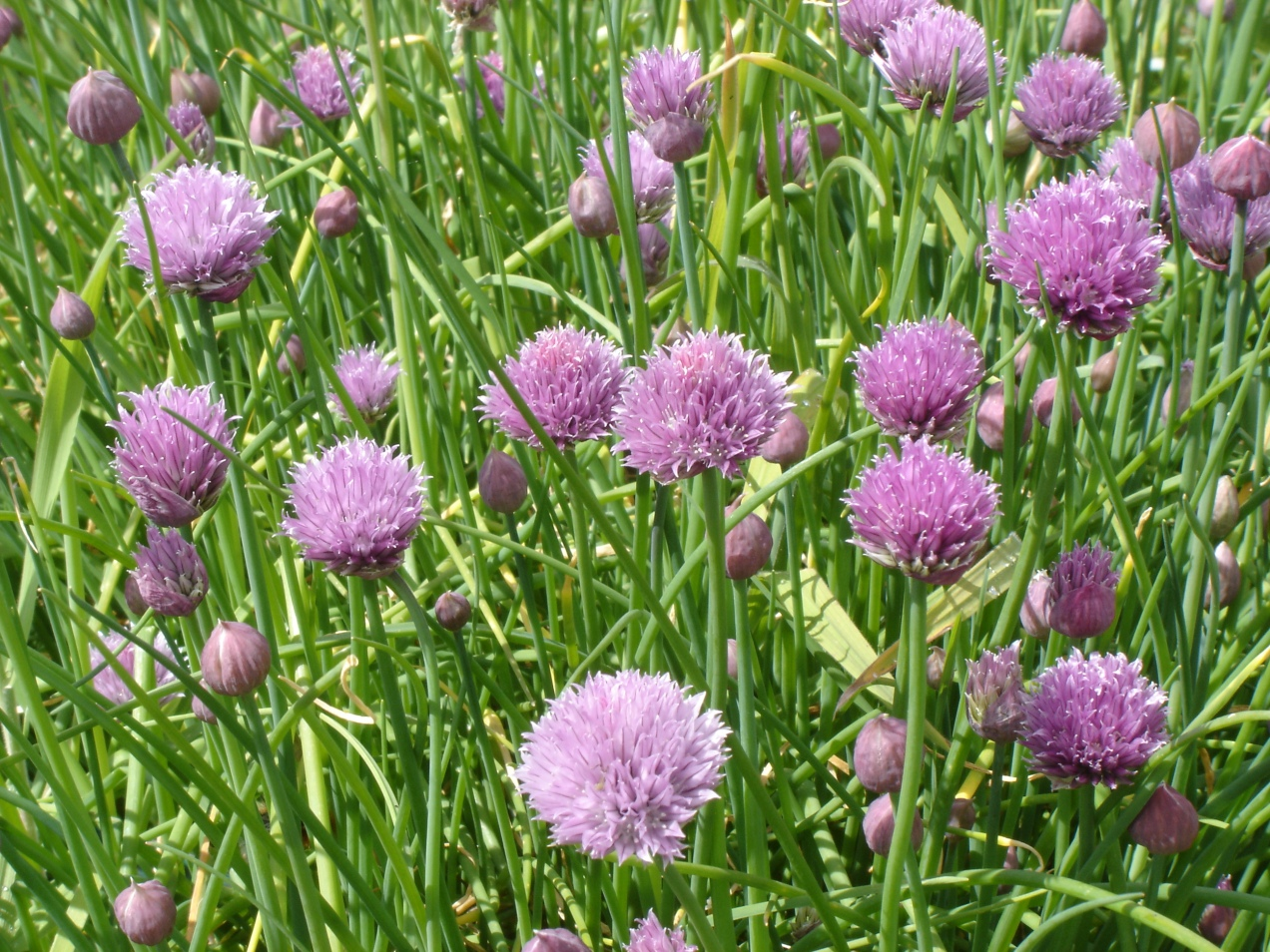 Chives-05052015