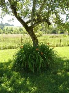 Daylilies-Apple-06072015