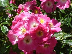 Rose-cluster-06072015