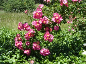 Rose-spray-06072015