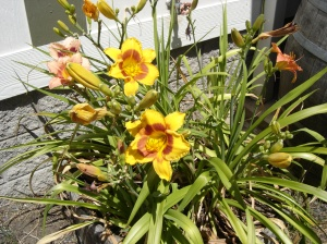 Lilies-07142015