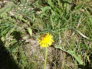 Bee-TO-Dandelion-10182015