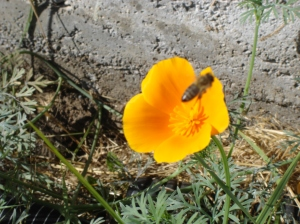 CaliforniaPoppy-PassingBee-10182015