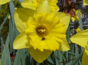 Daffodil-fly-02272016