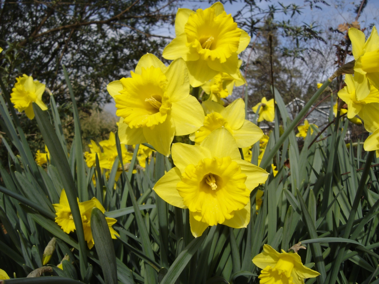 Daffodils-02272016