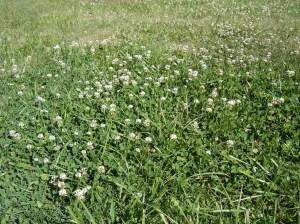 Abundant clover-06282016