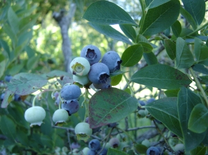 Blueberries-06282016
