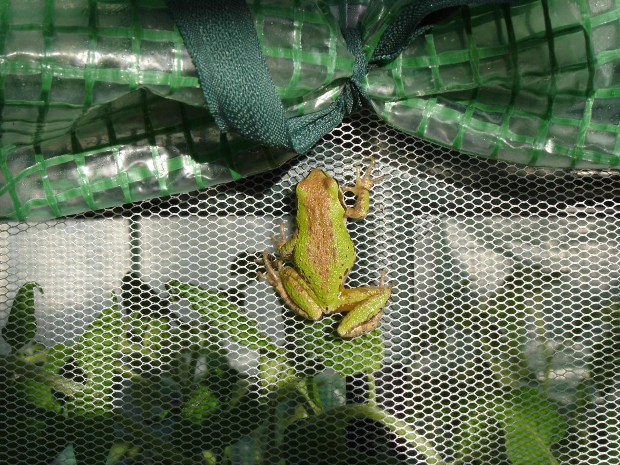 SBF-Frog-1-05312016