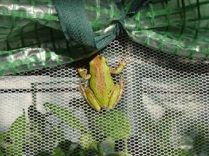 SBF-Frog-2-05312016