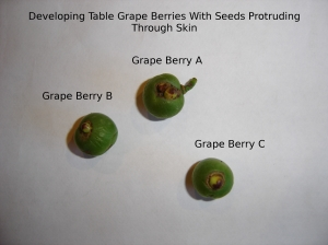 SBF-TableGrapeBerries-anomaly-1-07292016