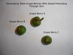 SBF-TableGrapeBerries-anomaly-1-07292016