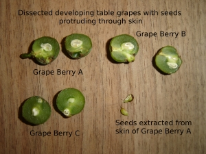 SBF-TableGrapeBerryDissection-1-07292016