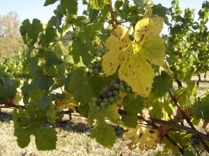 Pinot-Noir-1-08282016