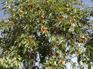 sbf-apples-09292016