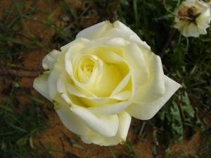 sbf-rose-10312016