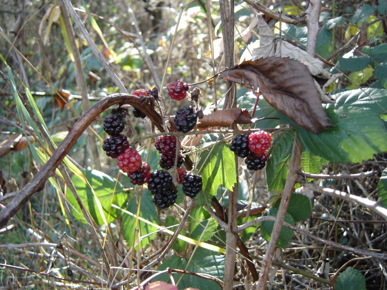 sbf-wldblackberries-11222016