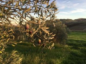 mj-olivefarm-1