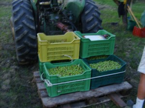 Olive harvest in a previous year