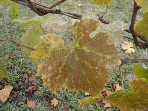 Pinot noir grape leaf